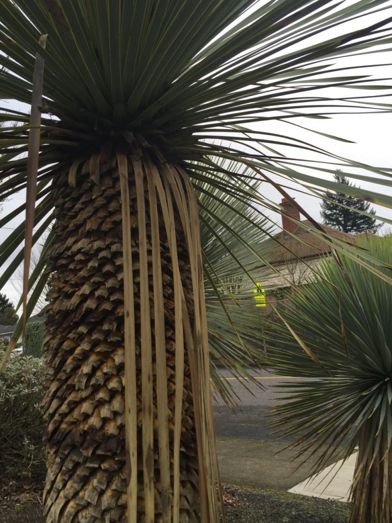 yucca rostrata trimmed