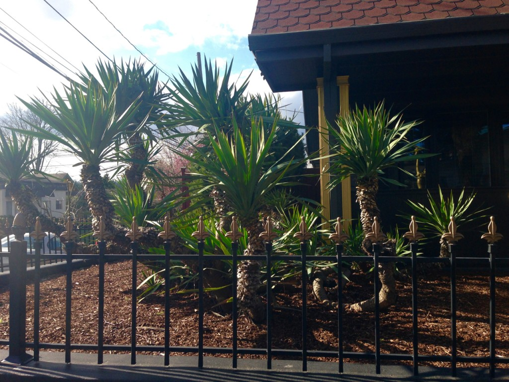 yucca alone