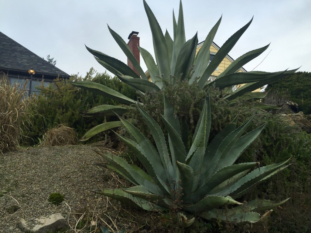 big agave little agave