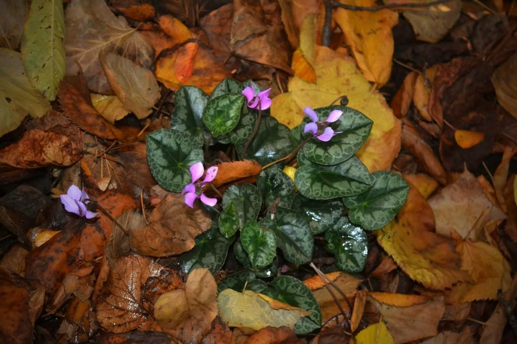 Cyclamen purpurascens Peter Herpst