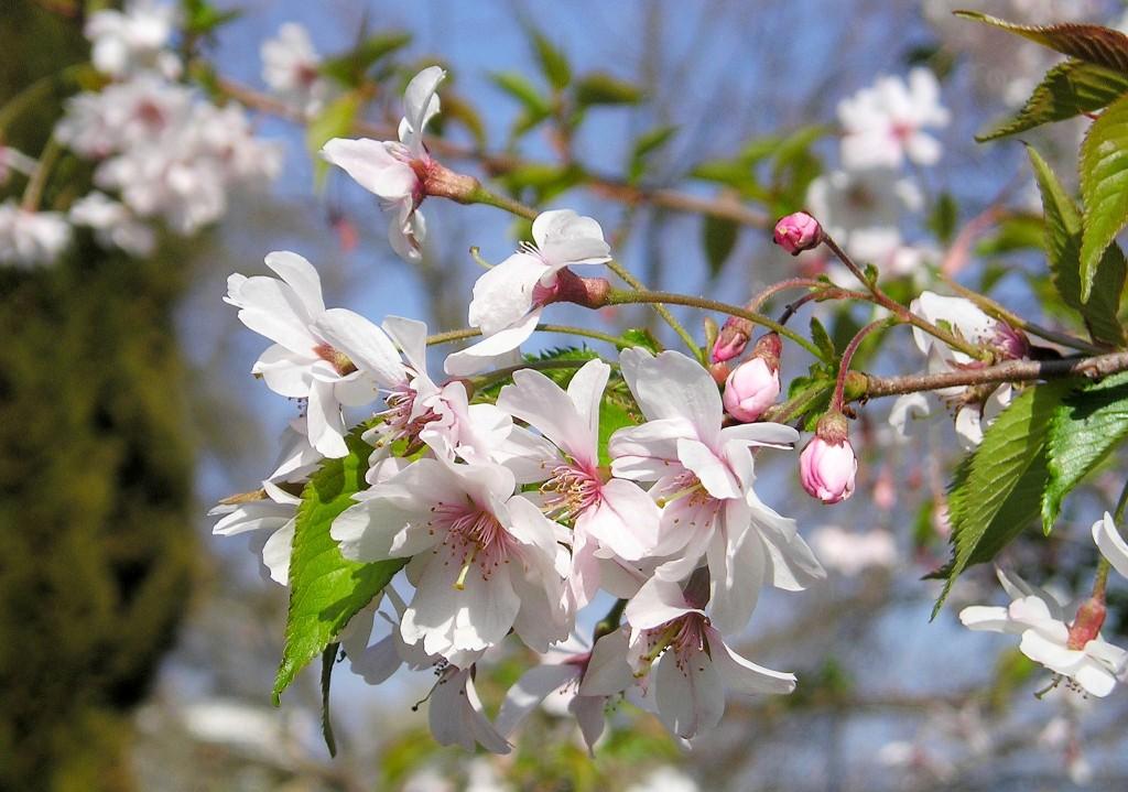 Higan-Kirsche_(Prunus_subhirtella)_1