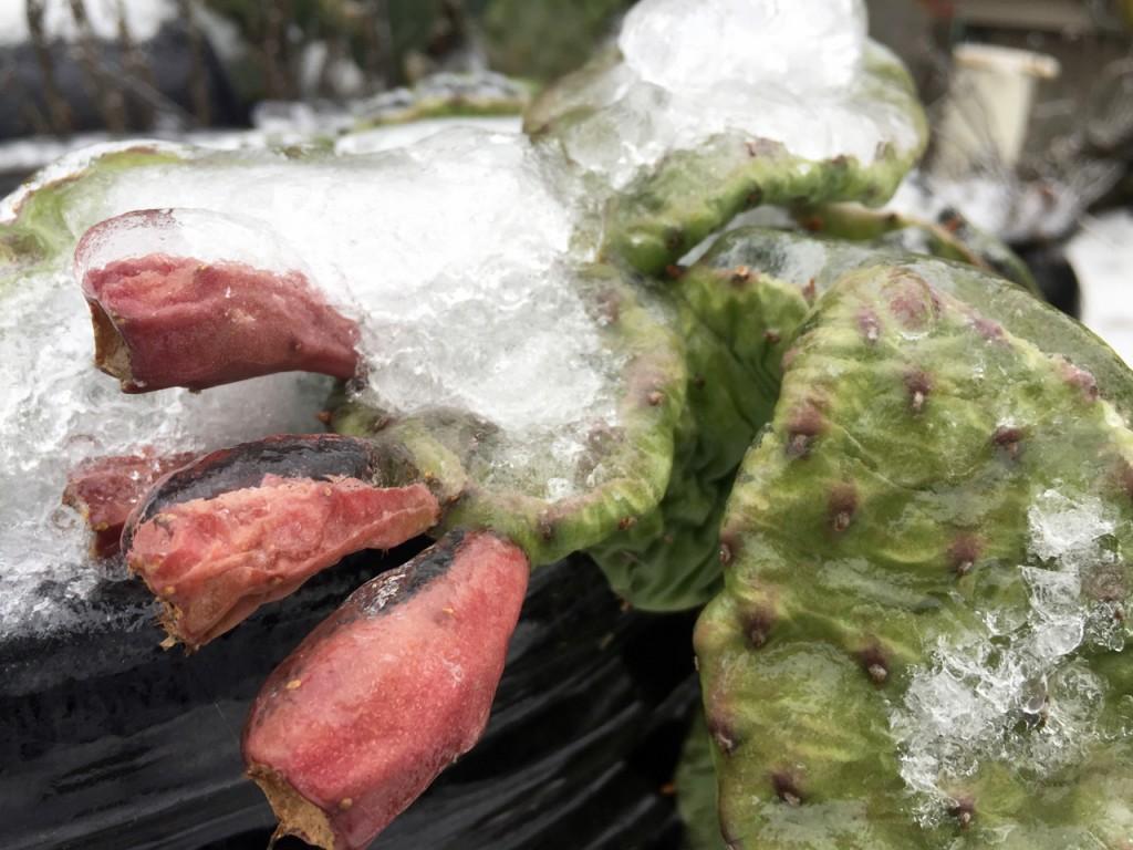 opuntia humifusa fruit