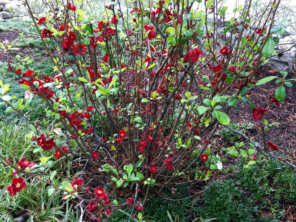 Flowering Quince. Love the color. Love the size.