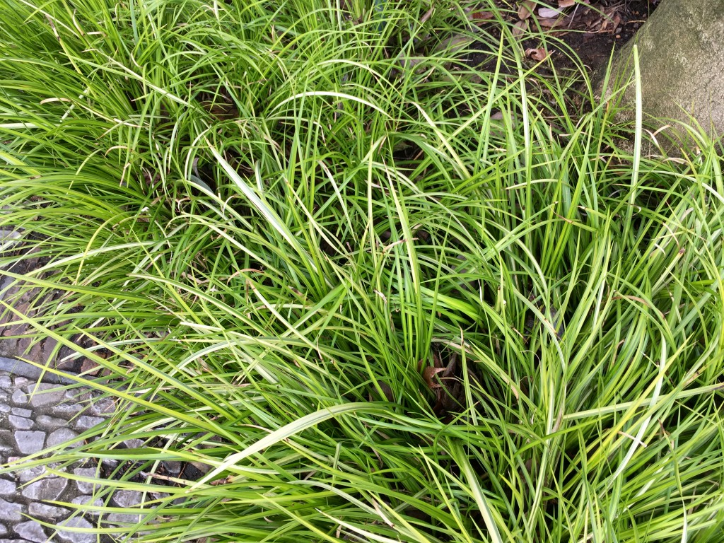 Mystery groundcover. Acorus or Carex maybe?