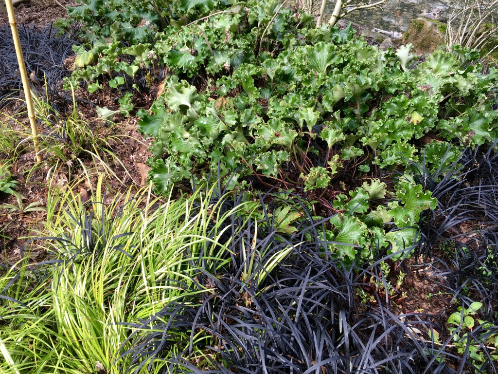 Dynamite combination of groundcovers with Farfugium japonicum 'Cristata' (I think it's 'Cristata'.)