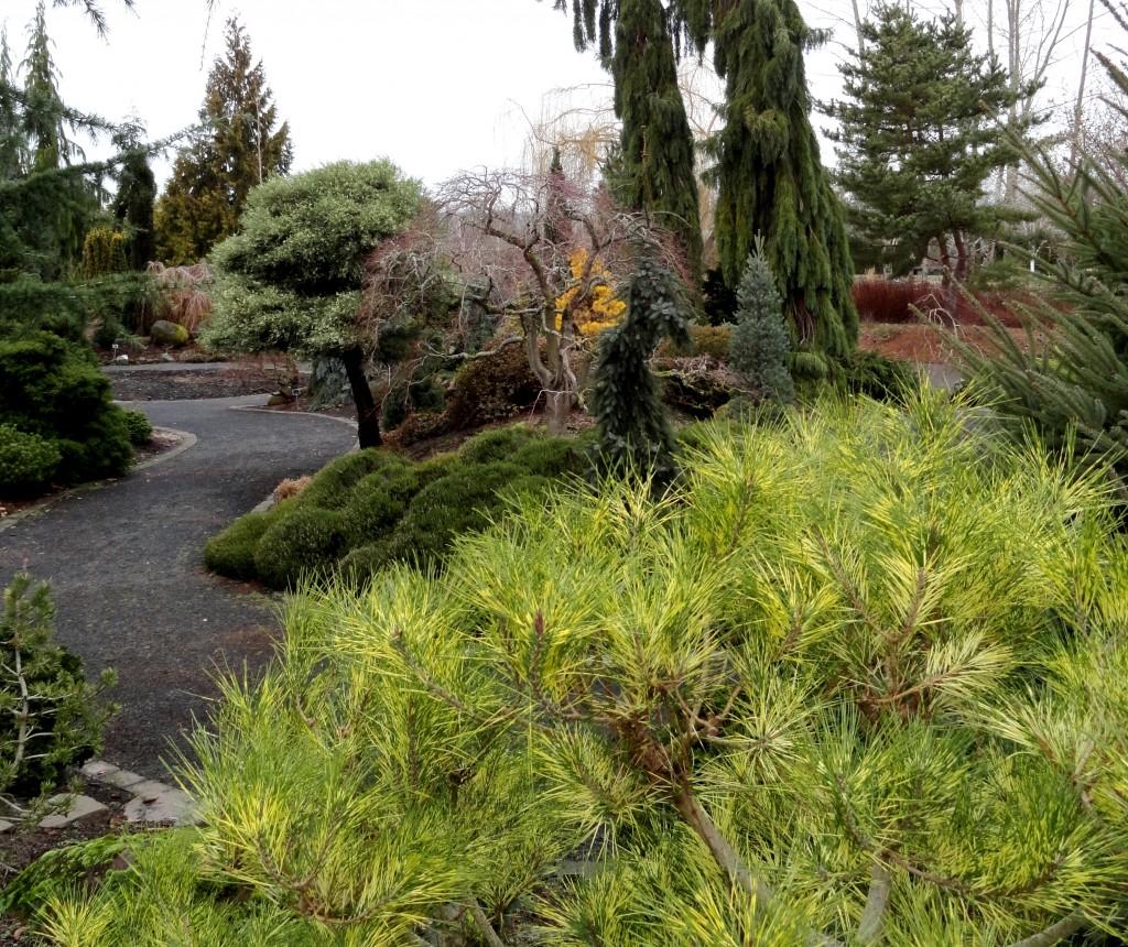 Amazoncom  Tanyosho Japanese Red Pine Tree 2  Year