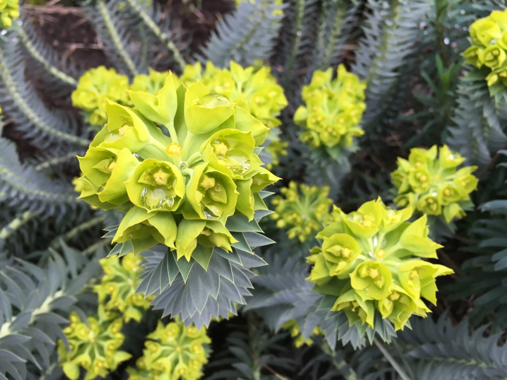 The chartreuse color of Euphorbia myrsinites is perfect.
