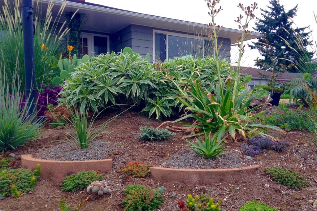 Echium candicans 'Variegata' in one season.