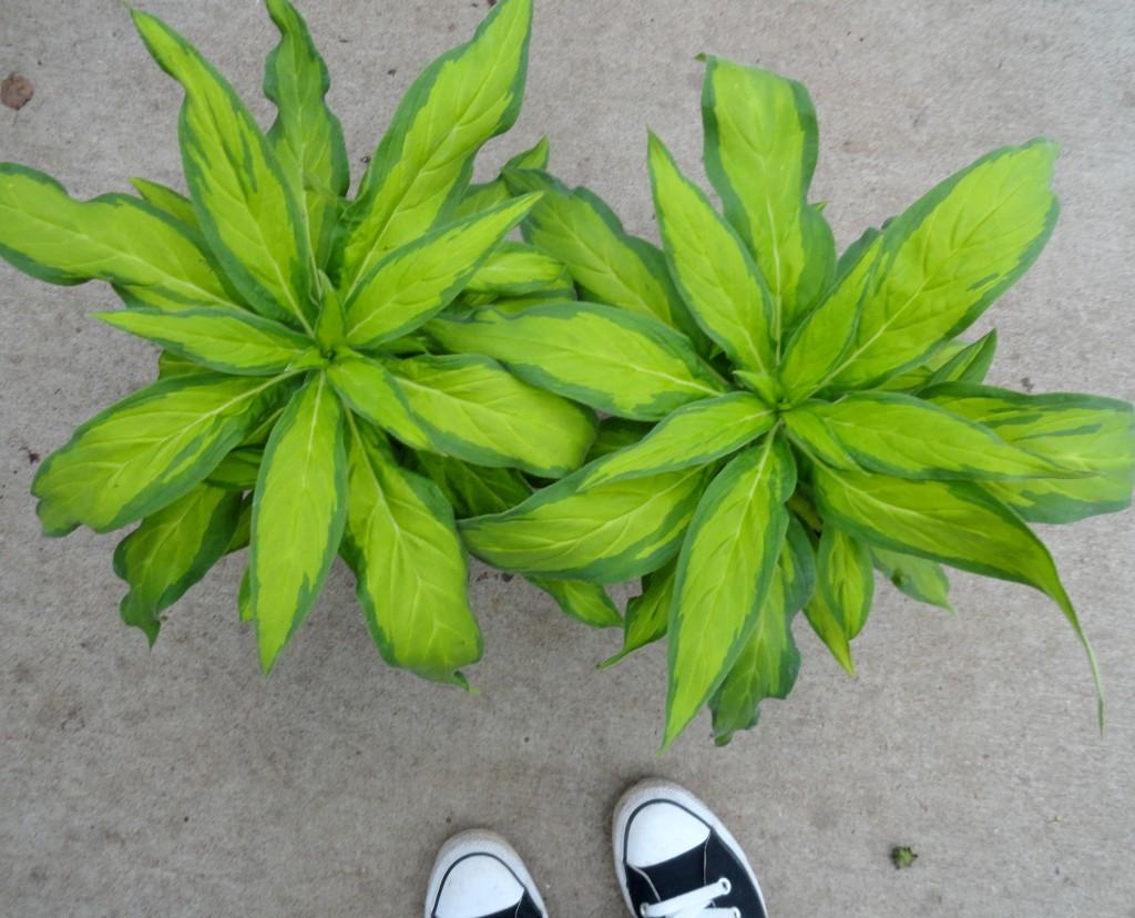 normal variegation