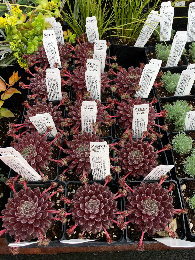 Sempervivum 'Pacific Zone'. The proprietor Paul tells me they'll stay fuzzy.