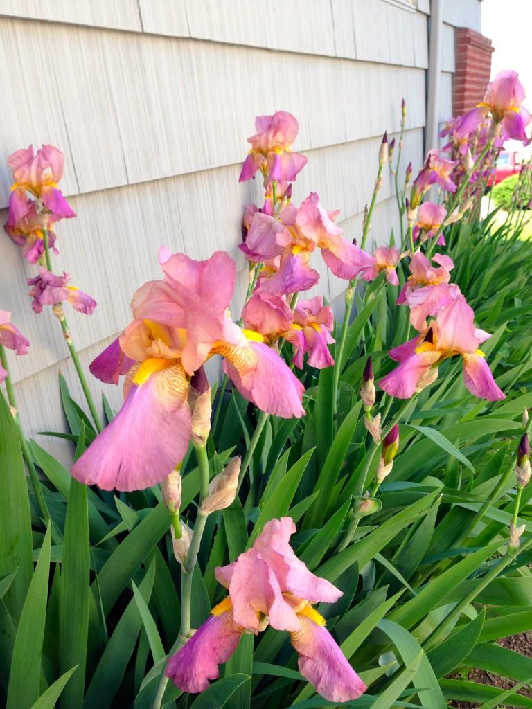 Iris noid. Pretty in bloom.
