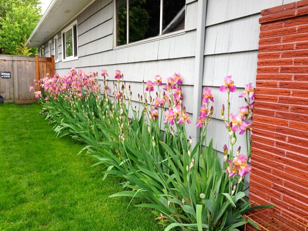 Long row of Iris, east-facing.