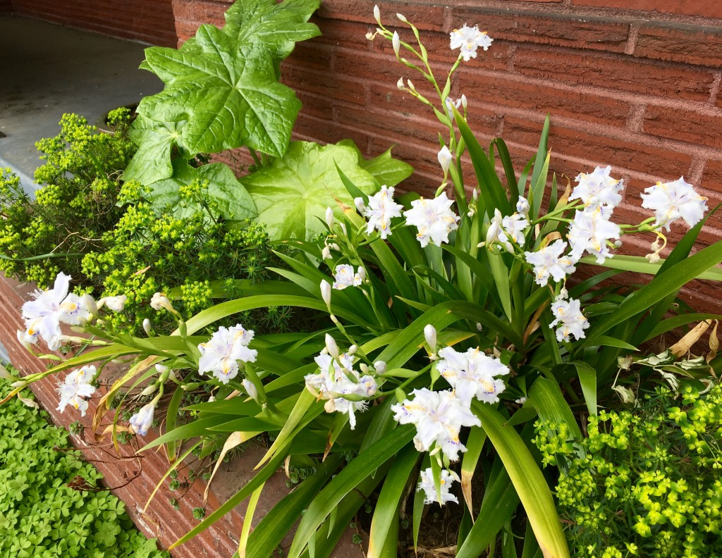 Iris confusa, Podophyllum  pleianthum, and Euphorbia cyparissias 'Fen's Ruby' in shade planter box.