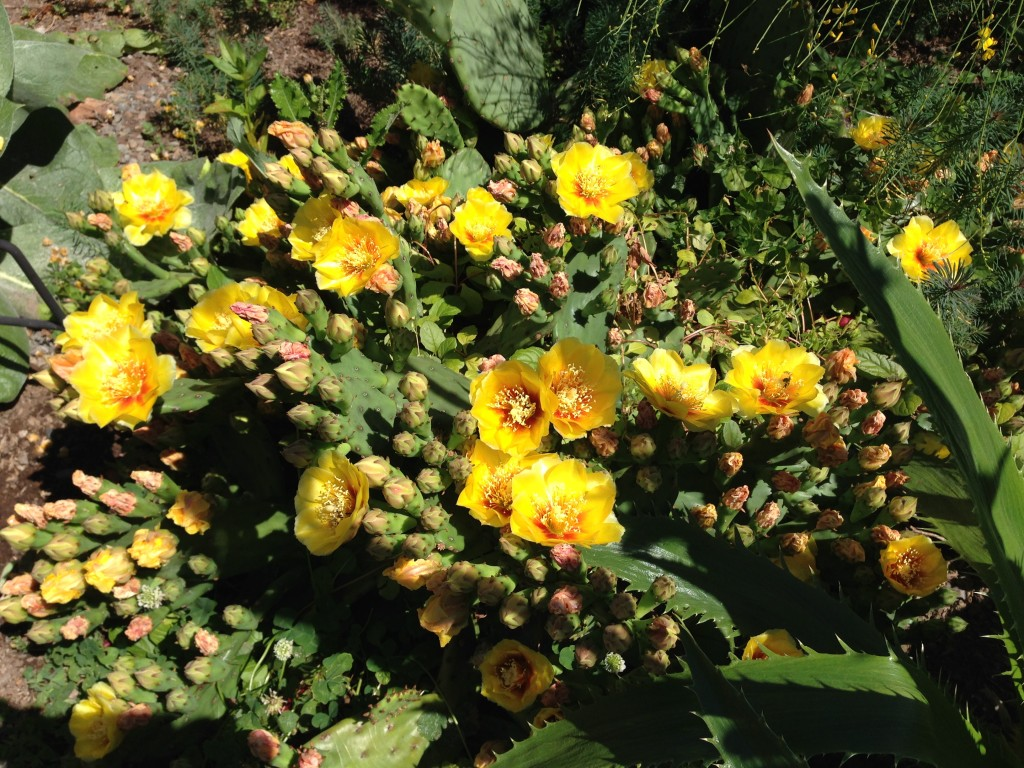 Opuntia humifusa falls squarely in the ain't nature amazing category.