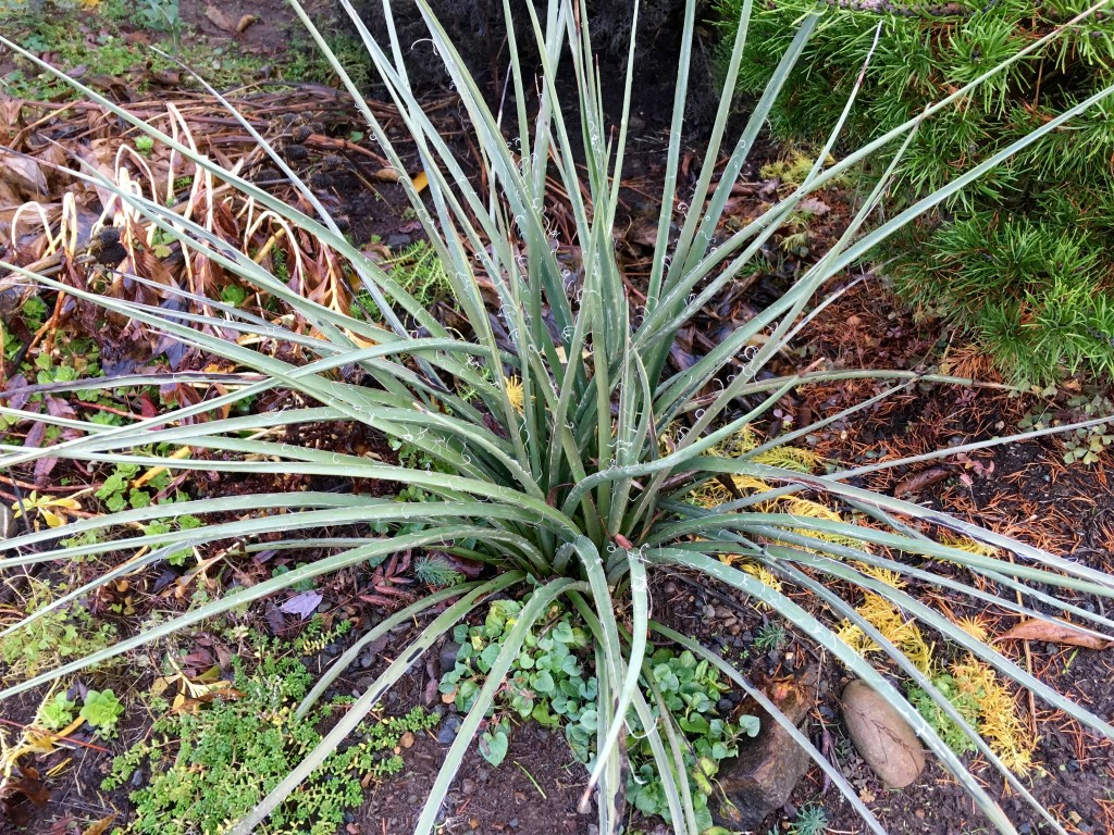 Hesperaloe parviflora were happy to move.