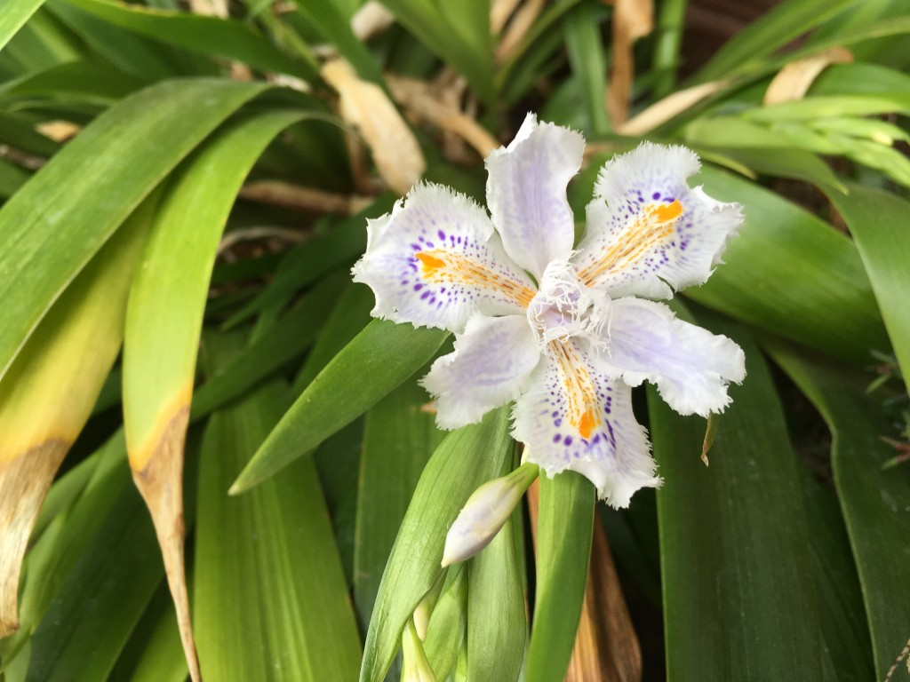 Iris confusa in bloom.