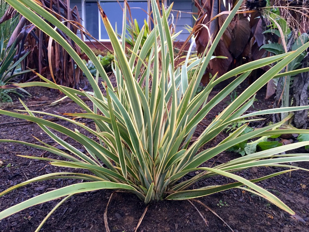 Phormium 'Wings of Gold' aka New Zealand Flax.