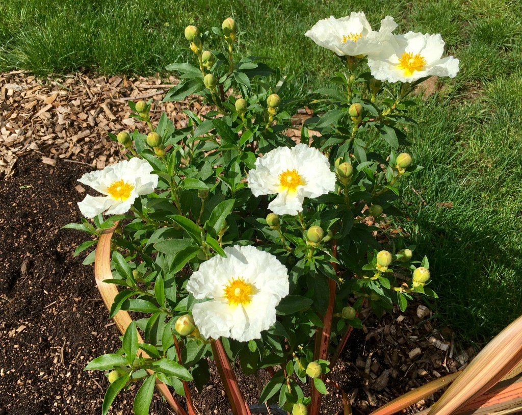 Cistus 'Bennett's White' is not in the ground yet. But a new bed on the rise.