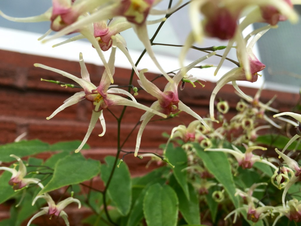 And in truth, I like Epimedium primarily for its foliage. Icing on the cake.