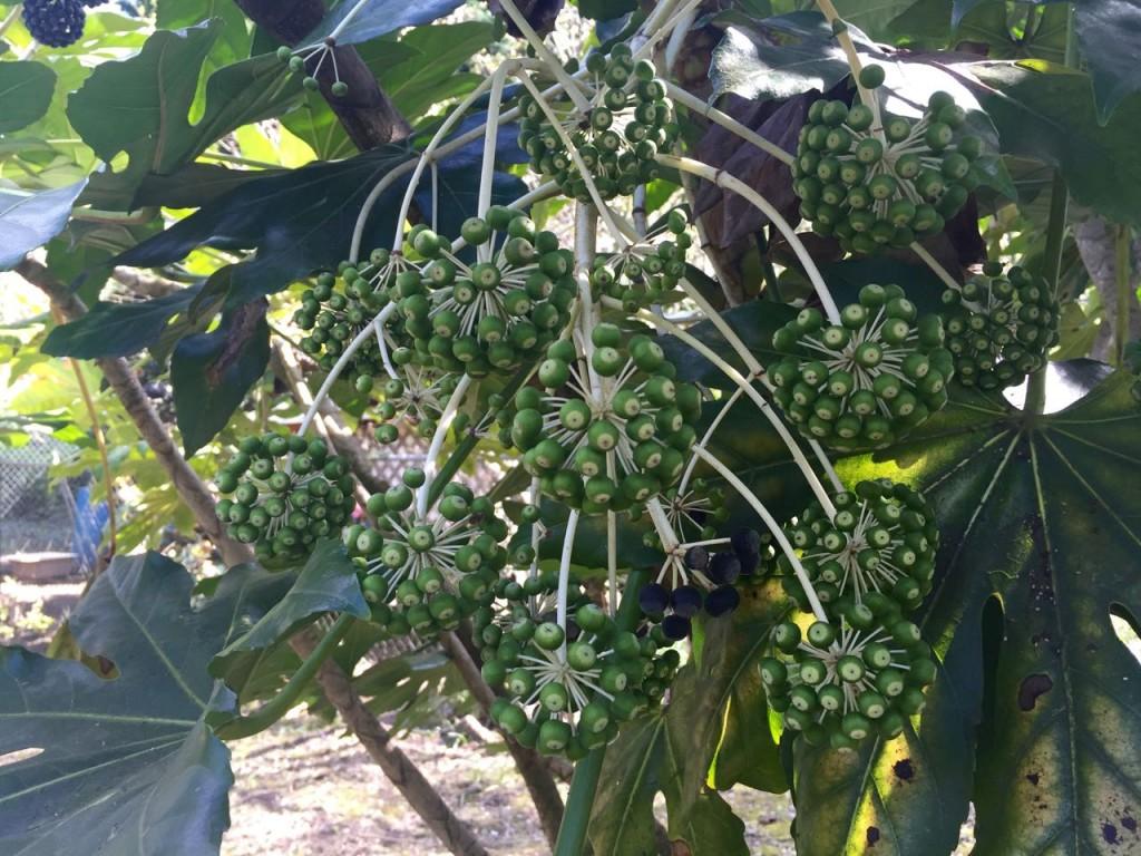 fatsia japonica flowers - green