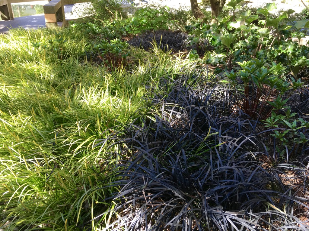 Acorus 'Variegatus' and Ophiopogon aka Black Mondo grass.
