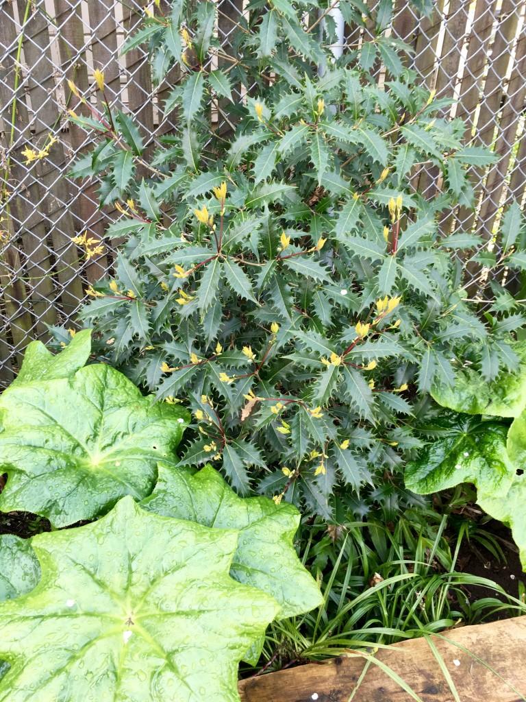 Osmanthus armatus 'Jim Porter' and Podophyllum pleianthum in display garden at Xera.