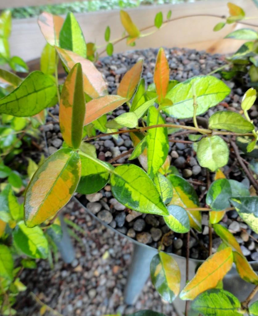 Trachelospermum b