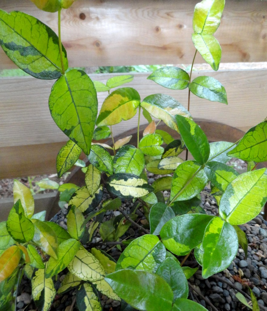 Trachelospermum c