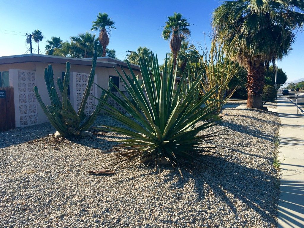 Yucca and cactus street side. Big.