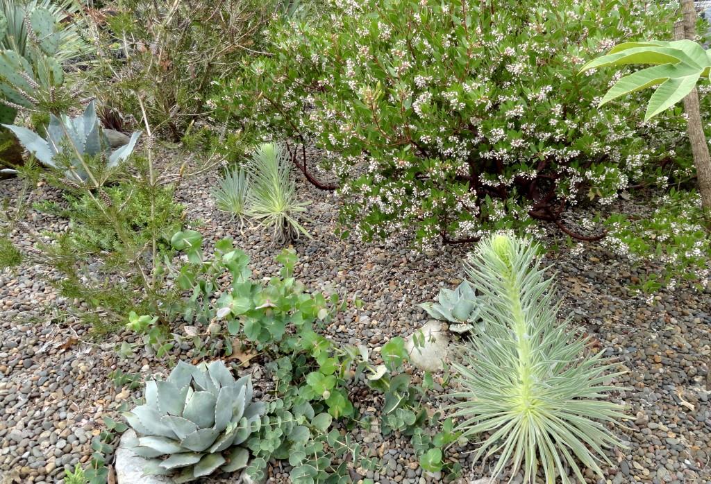 Echium wildpretii pair growing