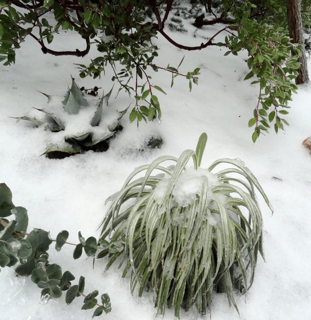Echium wildpretii ice