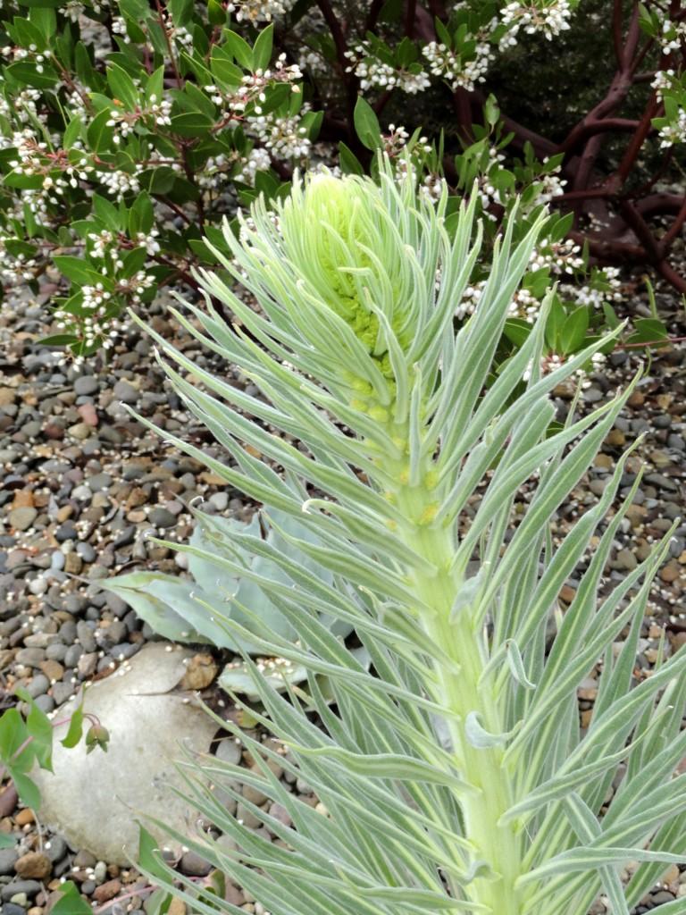 Echium wildpretii growing with nubbins