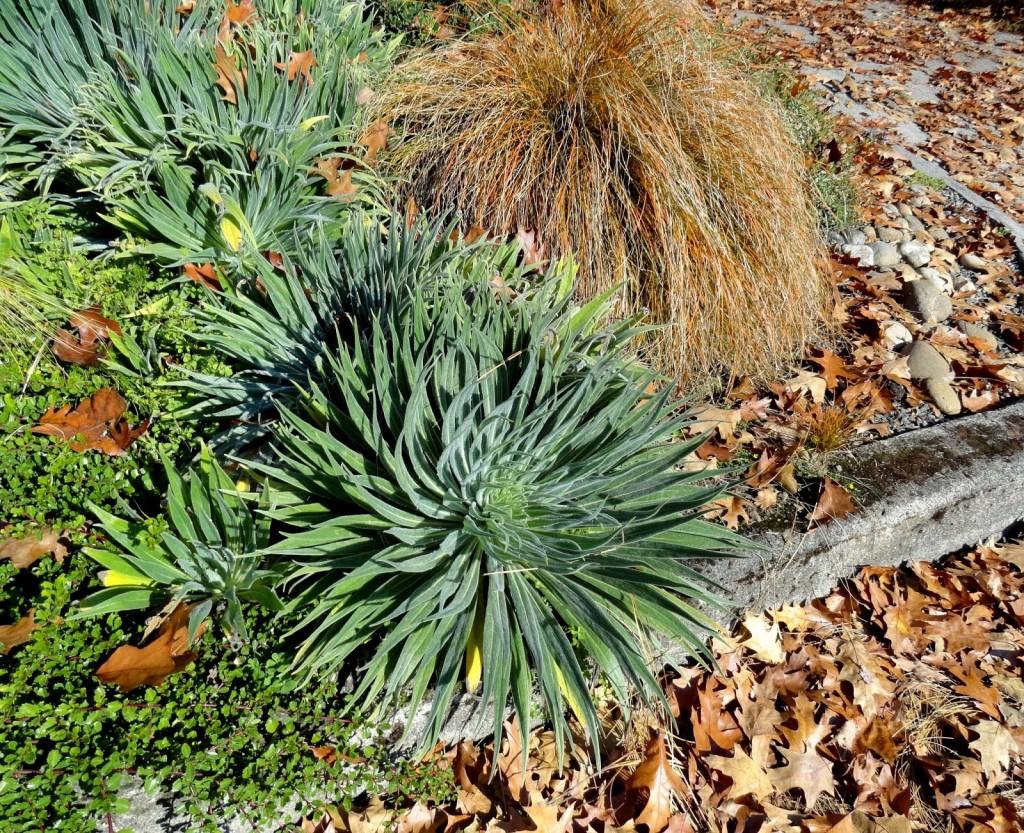 Echium seedlings at Patricias