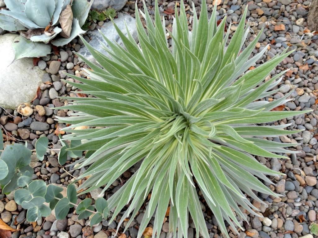 Echium wildpretii after freeze
