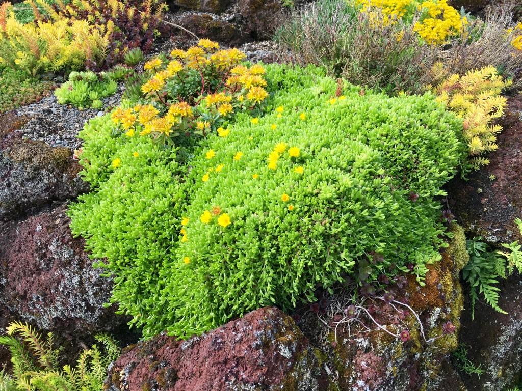 Delosperma congestum 'Gold Nugget' thinks it's a sea anemone.