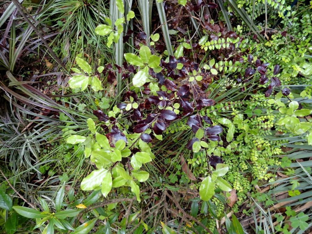Pittosporum tenuifolium 'Atropurpureum' Sean