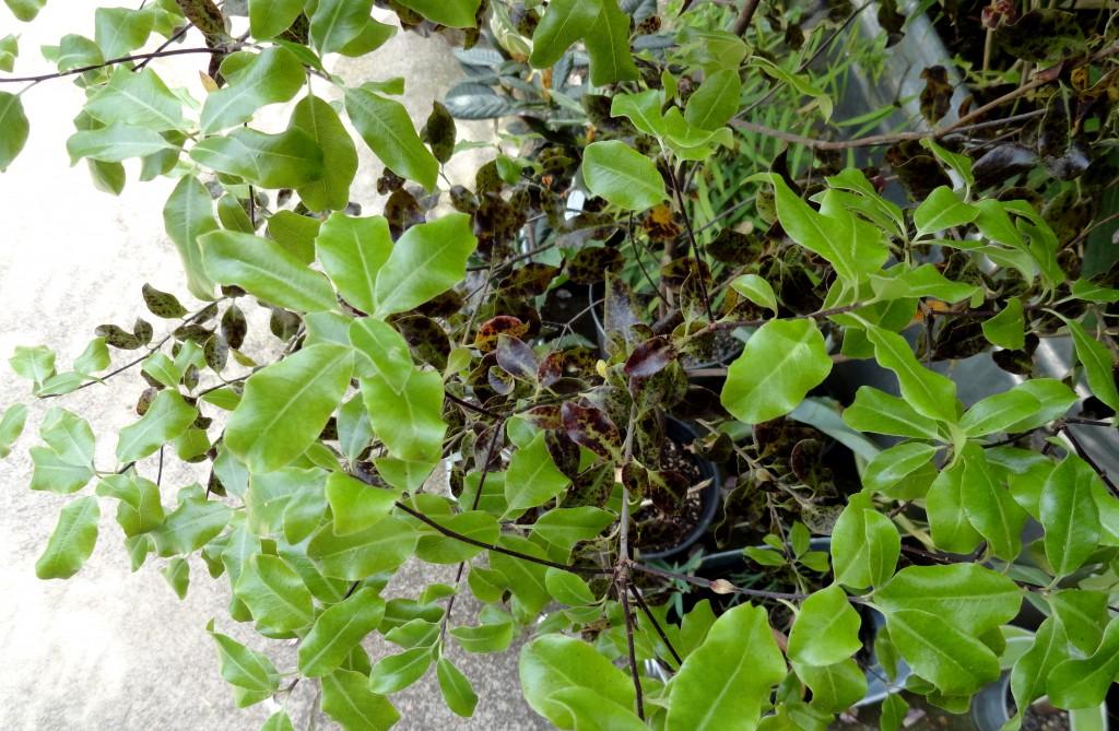 Pittosporum tenuifolium 'Atropurpureum'