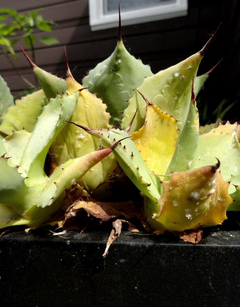mealy bug infestation