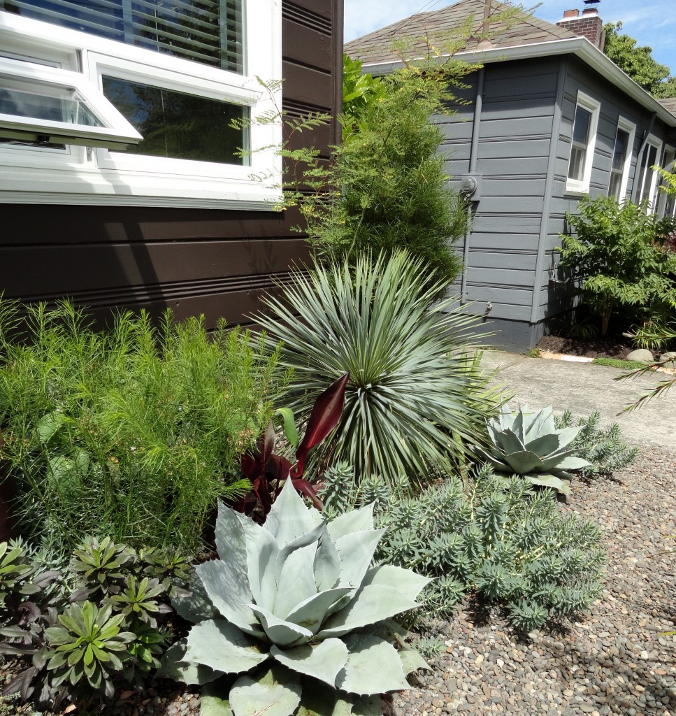 Agave ovatifolia 'Frosty Blue' and Yucca rostrata