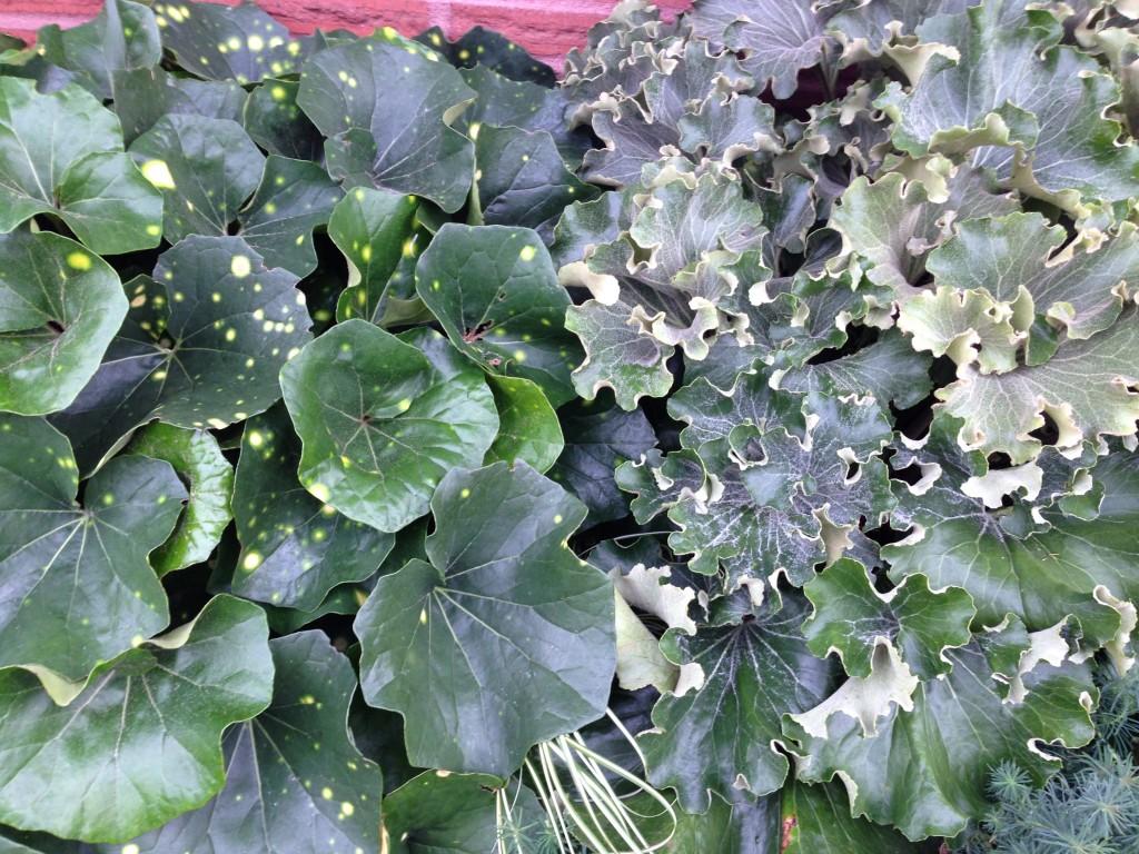Farfugium japonicum 'Aureomaculatum' and companion Farfugium japonicum 'Cristata'.