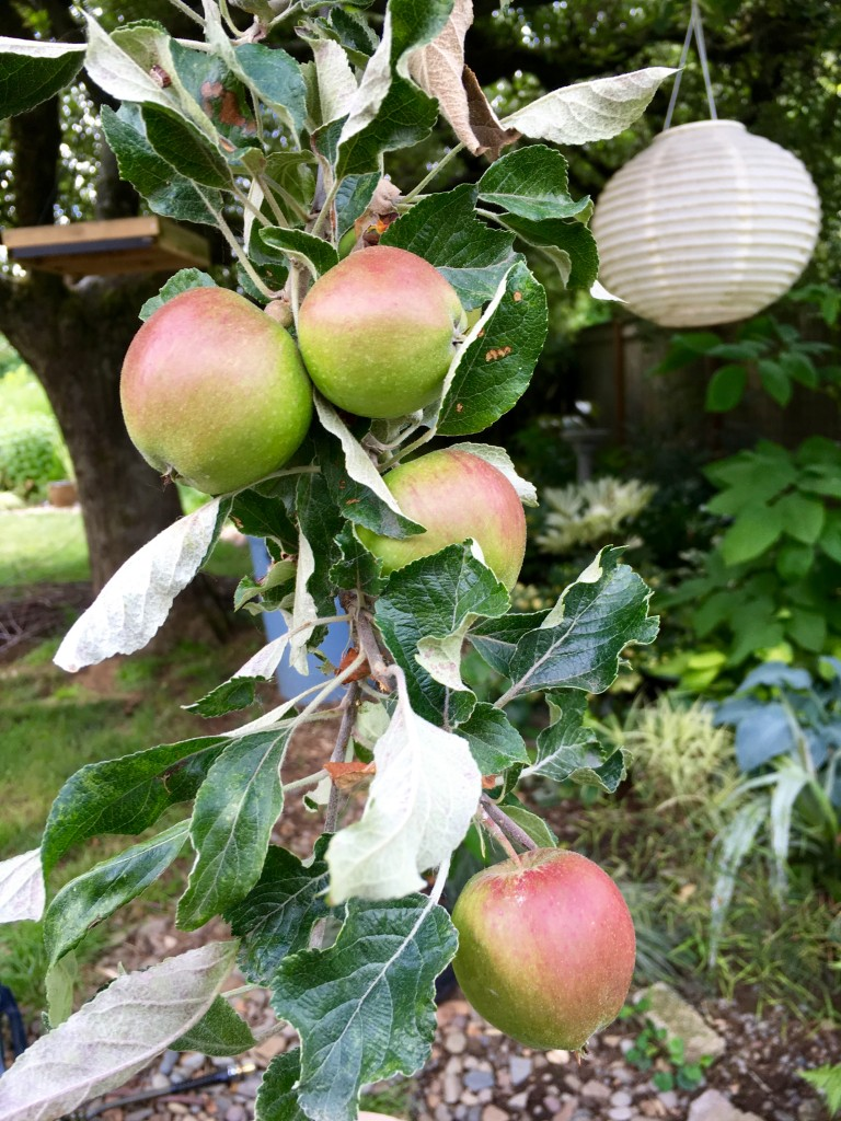 Apples growing on the tree.