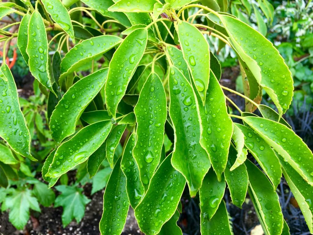 Trochodendron aralloides aka Japanese Wheel Tree