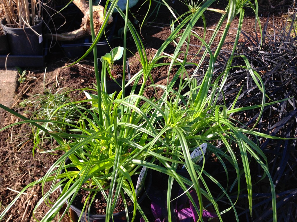"""Cyperus papyrus in quart size for about $7. One summer I found for $3 in a 4"""" pot and it still got huuuge."""