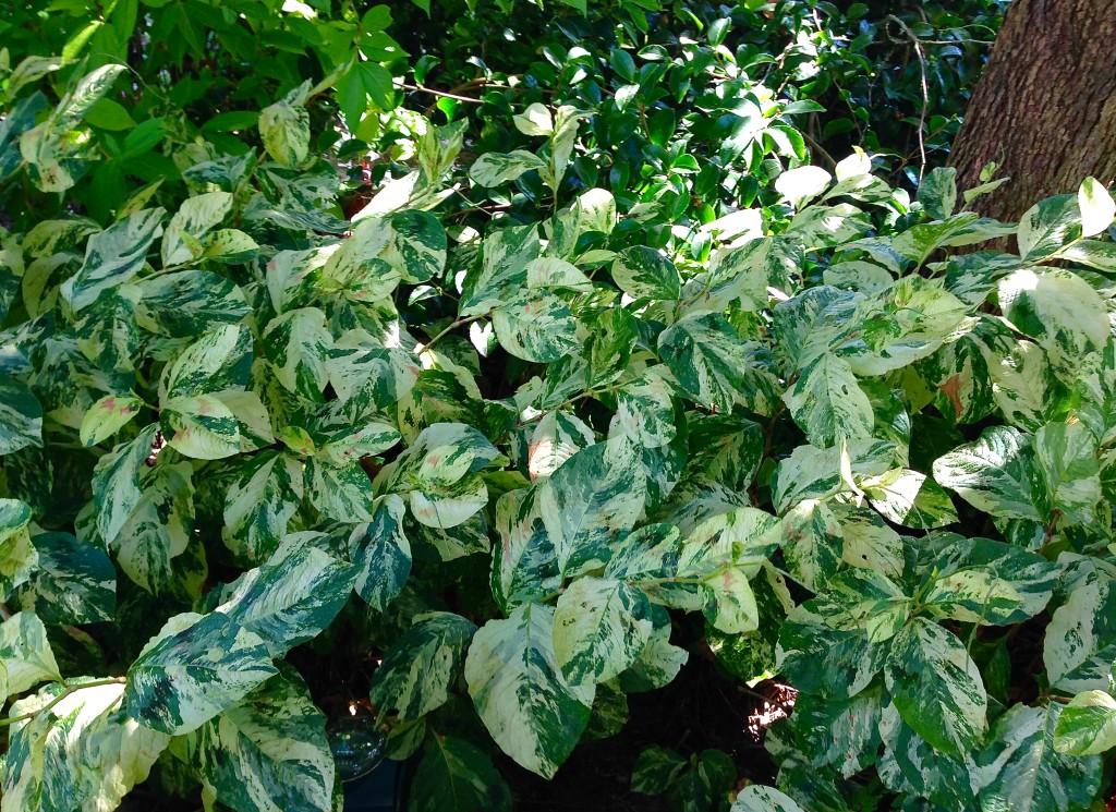 Persicaria 'Painter's Palette' in Vanessa's garden.
