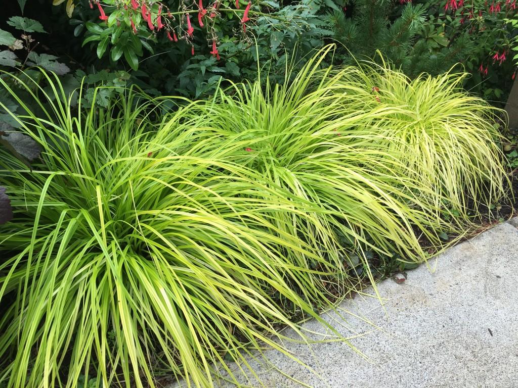 Carex oshimensis 'Everillo' -- you need at least three.