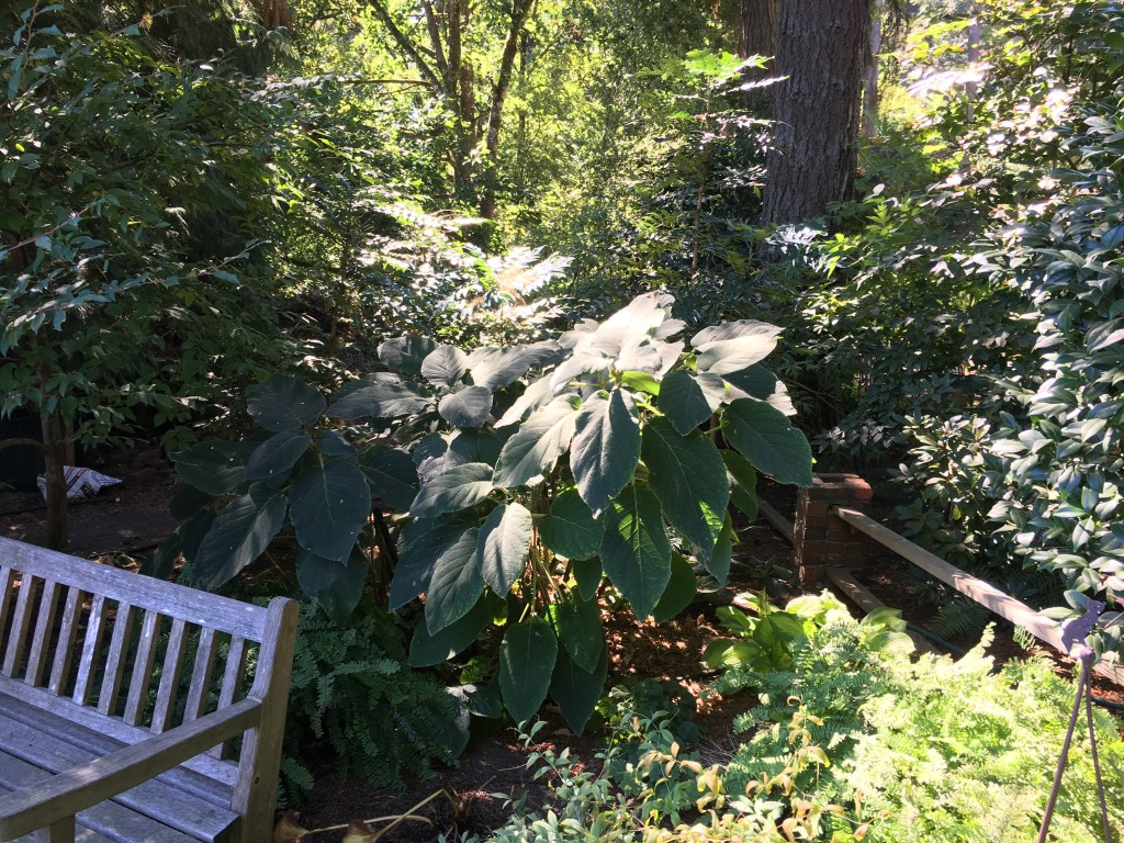 Hydrangea with enormous velvety leaves.