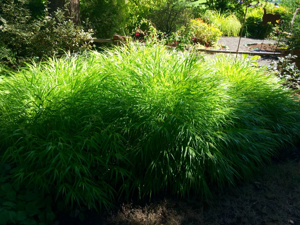 Mass planted Hakonechloa. Perfect.