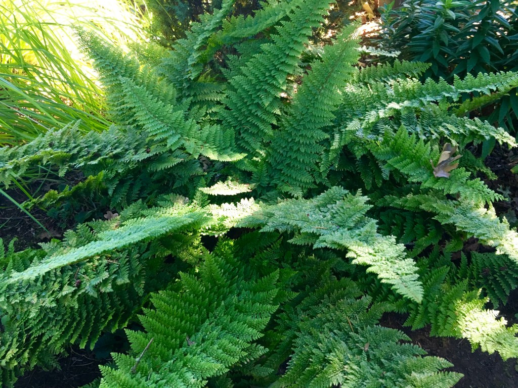 Swoony Fern, though that's not the technical name. Anyone?