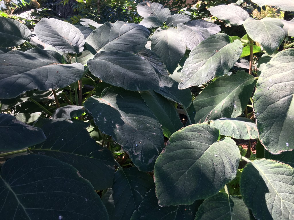 Big velvety leaves on mystery Hydrangea.