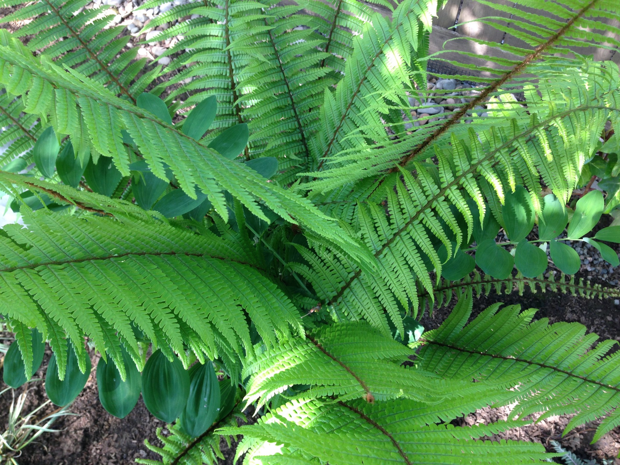 Dryopteris wallachiana aka Walliches Wood Fern -- looking good one year after transplant.